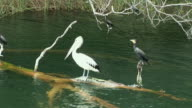 POV Passing by Australian Pelicans (Pelecanus conspicillatus) and cormorants on Lake Barrine, Cairns, Queensland, Australia