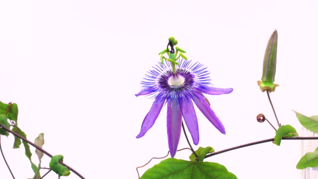 passion flower time lapse on white