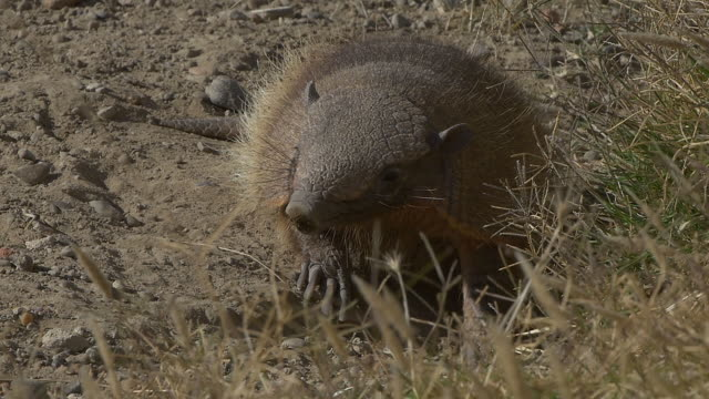 Patagonian armadillo smelling, slow motion