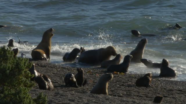 Patagonian sea lion colony with puppies playing in the surf