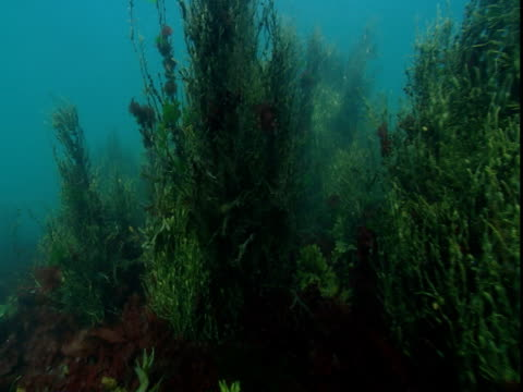 Patches of seaweed sway in the current.