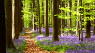 Path through the blooming bluebell forest of Hallerbos in Belgium