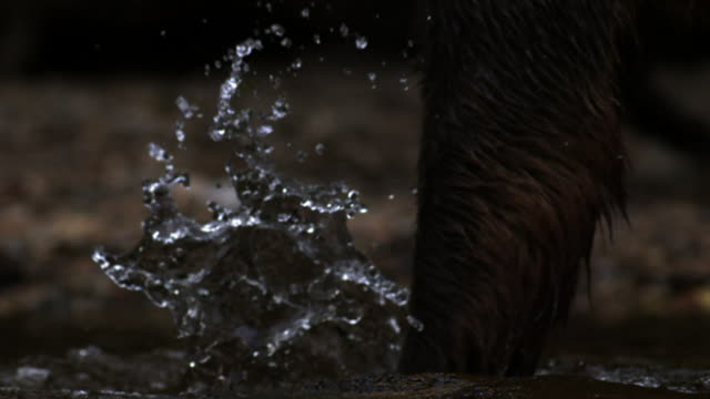 Paws of grizzly bear pad through water.