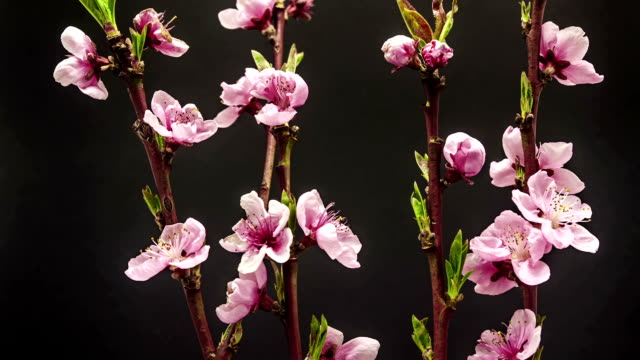 Peach flower blooming in a time lapse Hd 1080 video.