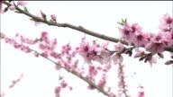 Peach flowers   Zoom in