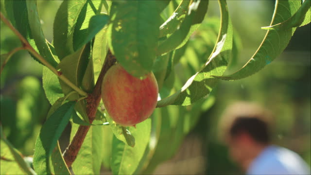 Peach tree close up. Man hands taking care of the small fruit. Close up with defocus background of farmers working.