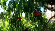 Peach tree in the garden