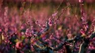 Peach tree on flower