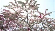 Peach trees   Tilt down   Peach blossoms and  farmhouses.  Tehaizaka village