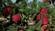 Peaches on tree, Ardeche, France