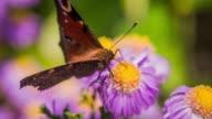 Peacock Butterfly Butterfly in Aster Flower