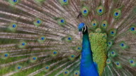 Peacock displaying colorful feathered tail