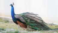 Peacock feathers beautiful bird.