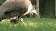 Peacock female with  breeding eating in the grass and walking