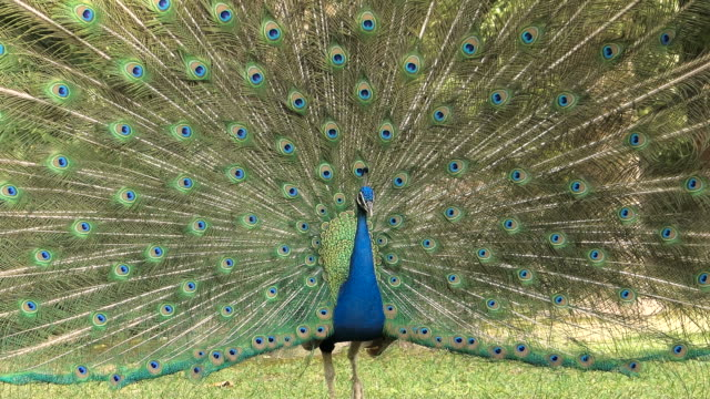 Peacock with open tail in spring in heat