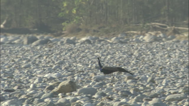 Peafowl runs across pebbles then takes off, Infinity Resort, India Available in HD.