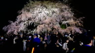 "Peak sakura season crowds are filling Tokyo's Rikugien Gardens to admire the beauty and take pictures of the famed ""shidarezakura"" weeping cherry..."
