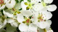 Pear tree flowers blooming 4K