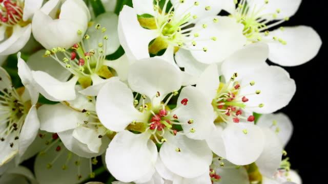 Pear tree blommor blommande 4K