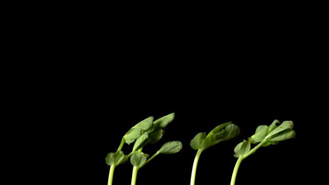 'Peas growing, timelapse'