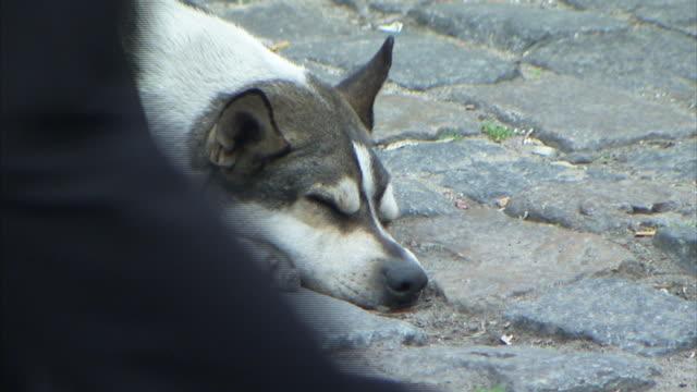 Pedestrians walk past a dog that sleeps on the cobblestone street.