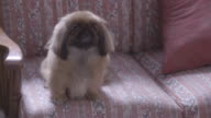 A pekingese dog sitting on a couch and waging his tail.
