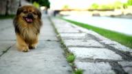 Pekingese i en promenad