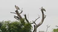Pelican birds flying.