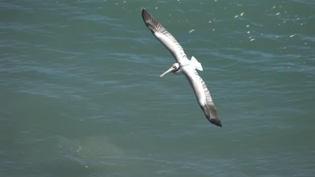 CU TS Pelican Flying over Rocky Cliff in ocean / Malibu, California, United States