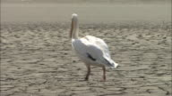 Pelican In Ishikari River Of Hokkaido