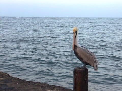 Pelican in Veracruz Mexico 3