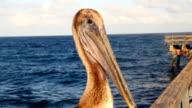 HD: Pelican On A Pier