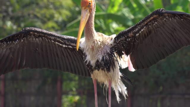 Pelican spread the wings.