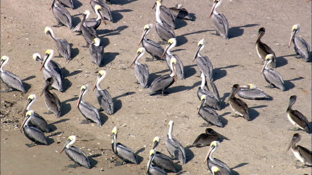 Pelicans And Other Birds On Small Tidal Island  - Aerial View - North Carolina,  Brunswick County,  United States