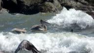 Pellicani lotta contro le onde