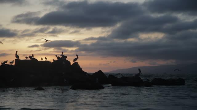 Pelicans on rocks, silhoutte