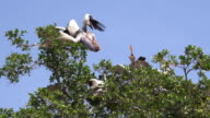 Pelicans resting in trees