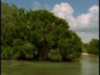 Pelicans roost in mangroves.