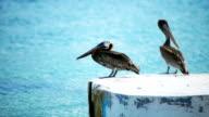 HD Pelicans standing a a dock at a Caribbean island