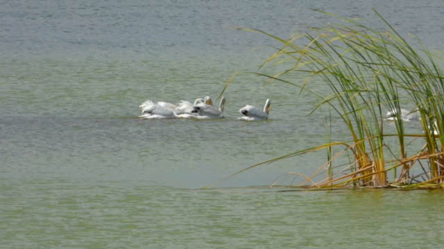 Pelicans Swimming and Feeding