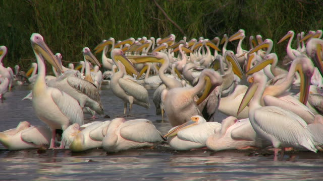pelicans_Pelikan2