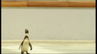 Penguins skate on ice rink at Broadgate Circus ENGLAND London Broadgate Circus EXT Penguins along onto ice as enticed by keeper with bucket of fish /...