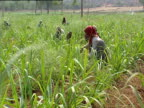 People attending crops in field India