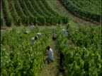 People harvest grapes on vineyard France