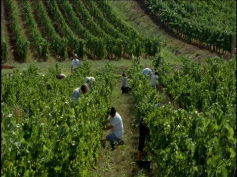 People harvest grapes on vineyard France