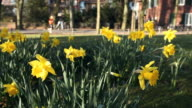 people in the spring - daffodils