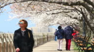 TU People walk down under the row of cherry blossoms trees at  promenade beside East River at Roosevelt Island.
