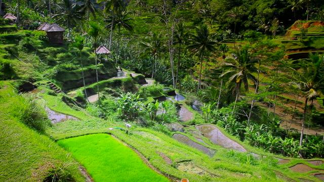 WS People working in terraced rice paddies at Tegallalang / Kediri, Bali, Indonesia