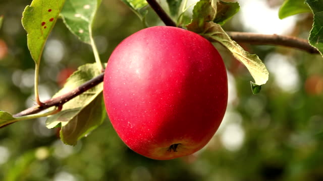 Perfect fresh apple