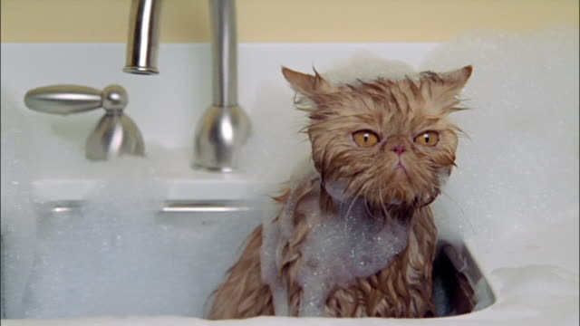 Persian cat taking bath in sink wet and covered in soap suds / looking arround